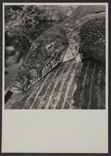 Sans titre [Crocodile sur une planche]