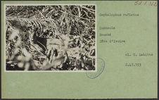 Cephalophus rufiatus