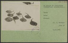 Un groupe de Platyrhina (Zenobatus) schoenleini