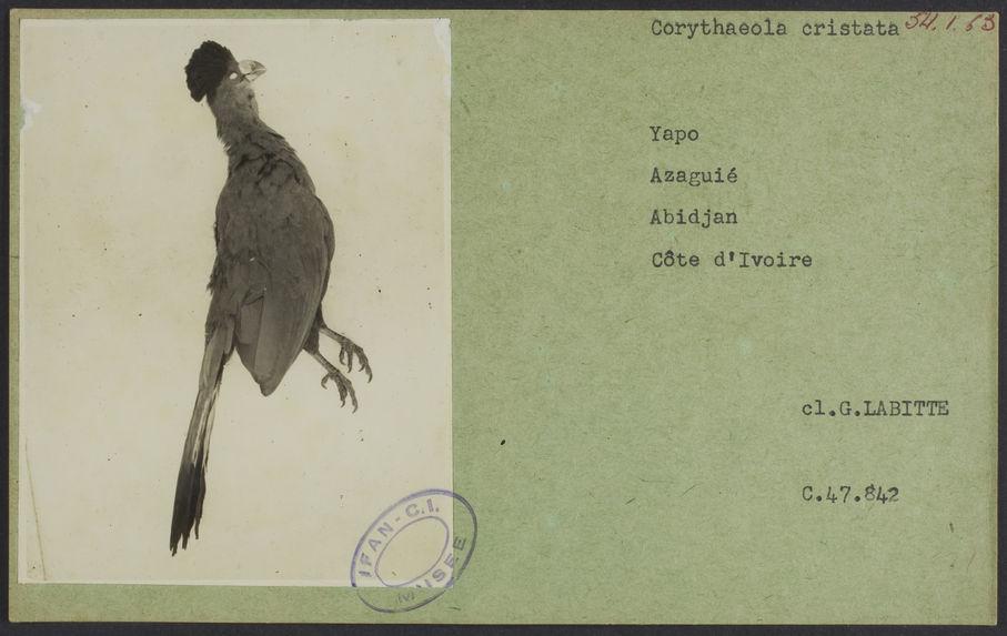 Corythaeola cristata