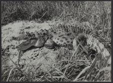 Crocodile de Nil, habitant des lagunes ivoiriennes
