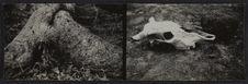 Sans titre [Deux vues représentant un crâne animal  et les racines d'un arbres...