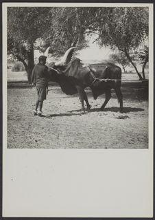 Zinder, Niger [Jeune fille avec un buffle]