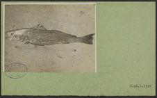 Sans titre [poisson]
