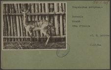 Tragelaphus scriptus