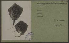 Pastenague marbrée (Trigon pstinaea marmorata)