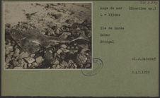 Ange de mer (Squatina sp.)