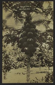 Panyas Tree 41