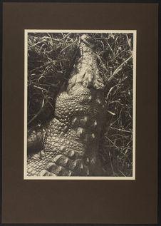 Sans titre [crocodile]