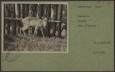 Cephalophe (ind) [antilope].