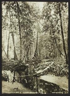 Mangrove swamp, Reqi - Ysabel - Solomons