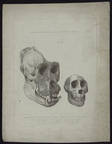 Crânes de gorilles