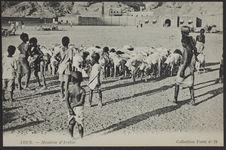 Aden - Mouton d'Arabie