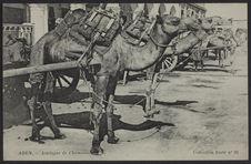 Aden - Attelages de chameaux