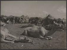 Sans titre [marché aux chameaux]