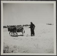 Tel Mesken. Tribulum attelé de deux vaches