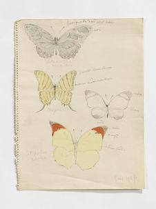 Metamorpha [Philaethria] wernickei, Megalura, Catopsilia philea (papillons)