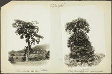 Fûta Jalô. Cholorophora excelsa [arbre]