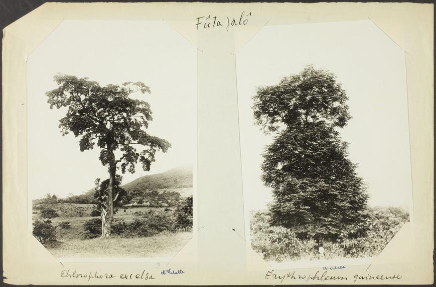 Fûta Jalô. Erythrophleum guinéense [arbre]
