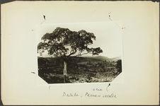 Dalaba : Parinari excelsa [arbre]