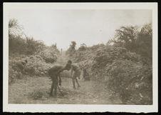 Babinga employés dans une palmeraie