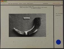 Holman Island Museum : pilon à graisse en corne de bœuf musqué