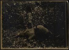 Sans titre [un jeune homme pose devant la dépouille d'un éléphant]