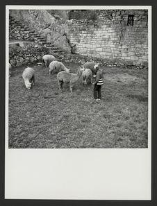 Les alpacas sur la place entre les groupes avec Suzanne