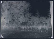 Kalmouks [troupeau de chameaux]