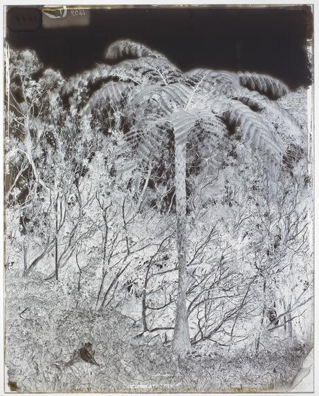 Fougères arborescentes.