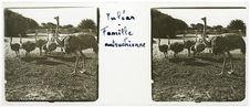 Tuléar. Famille autruchienne