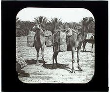 Biskra. Caravane rapportant des dattes de l'oasis