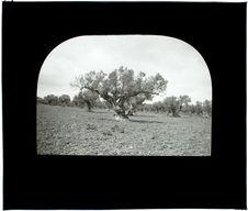 Tunisie. Vieil olivier route de l'Ariana