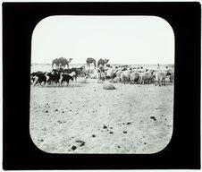 Sahara. Troupeau auprès d'un puits