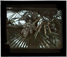 Palmier. Inflorescence