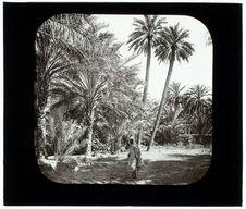 Biskra. Oasis. Groupe de palmiers