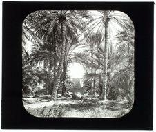 Tunisie. Biskra. Oasis. Groupe de palmiers