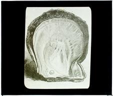 Perle. Une huître avec sa perle