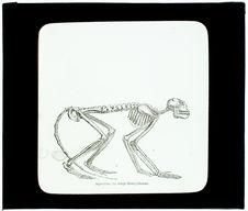 Squelette de singe mésopithèque à Pikenni