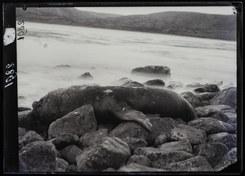 Lions marins, mâle, échoué sur la plage, baie Lort