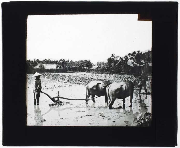 Annamites labourant les rizières