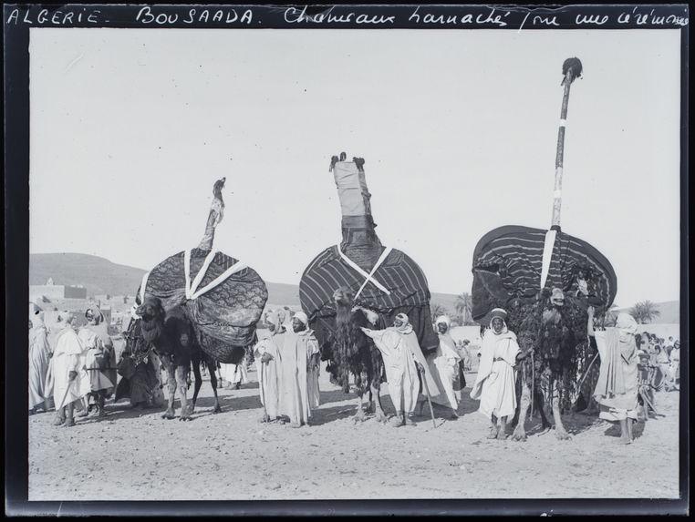 Chameau harnaché pour une cérémonie
