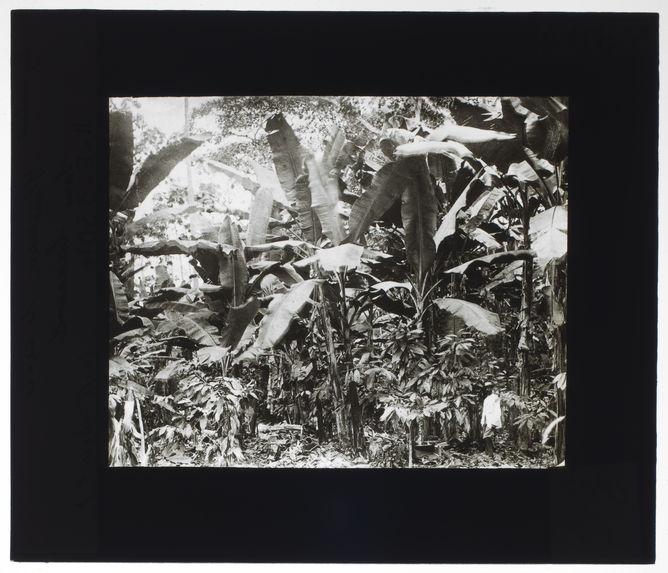 Plantation de cacao sous bananiers
