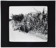 Plantation et transport des cannes