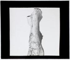 Maxillaire inférieure de renne