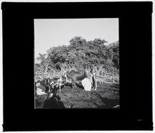 La traite des vaches en pays Bara