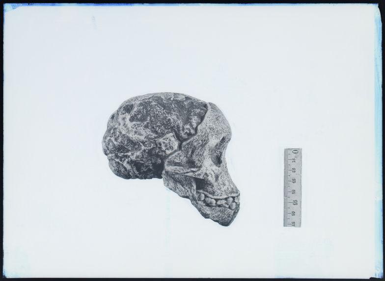 Australopithèque. Crâne