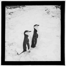 Sans titre [deux manchots marchant sur la neige]