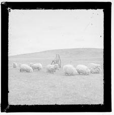 Sans titre [moutons]